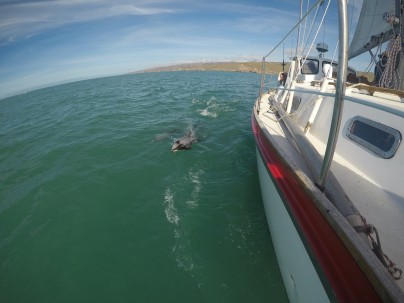 Hector's dolphins show up